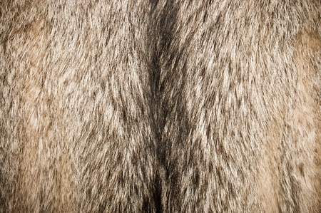 Wolf fur texture for background