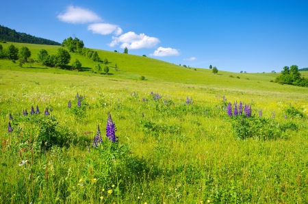 Flowered meadow with lupines on first plan