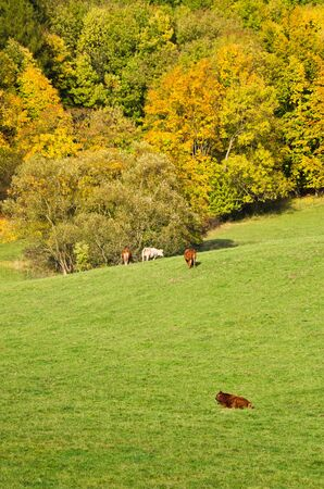 Autumn landscape with grazing cattle near the forest photo
