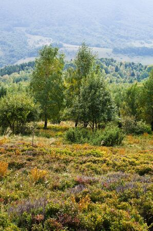 blueberry bushes: Carpathians meadow with a lot of blueberry bushes Stock Photo