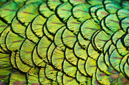 Peacock plumage as a natural background