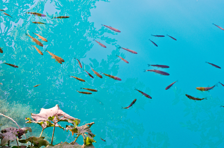 A lot of fishes in Plitvice National park, Croatia