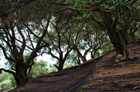 corfu: Olive grove on Corfu island - Greece