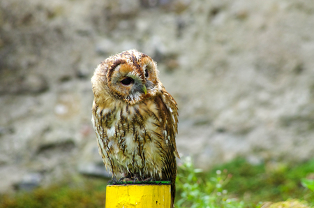 somewhere: Beautiful young owl staring somewhere