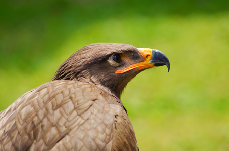 aguila real: Majestic head of brown eagle Foto de archivo