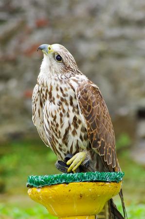 yellow tailed: Nice white hawk in strange pose