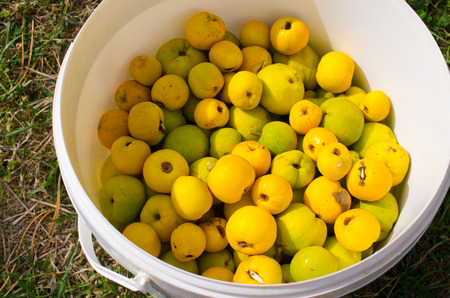 quinces: Quinces in the white container