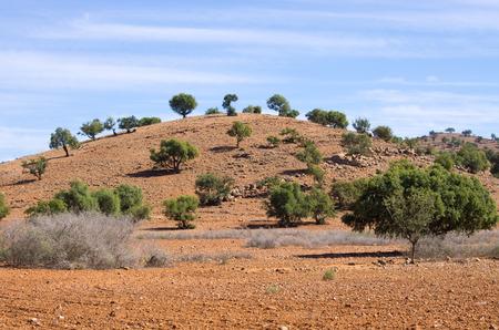 Plantation of argan trees in Morocco