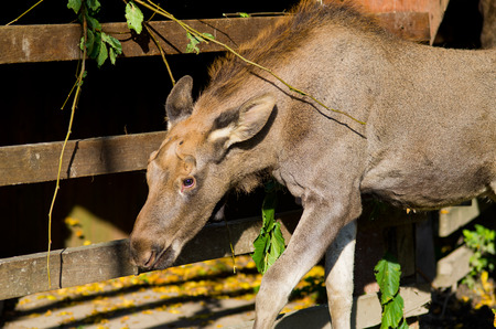Young moose in the zoo