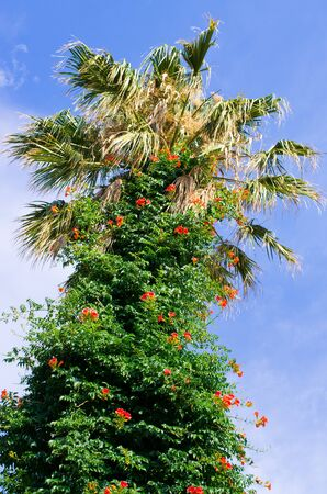 Palm tree covered by red flowers Zdjęcie Seryjne - 128741336