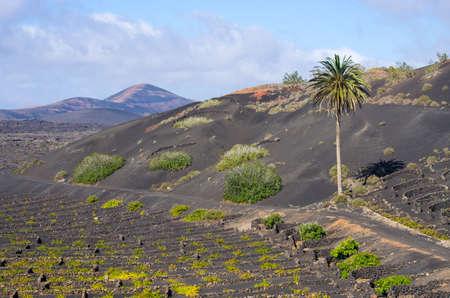 Typical volcanic vineyards in Lanzarote Island - Spain Stock fotó