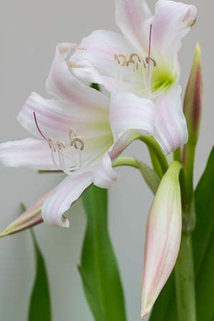 hombre millonario: Flor blanca Floraci�n Aloe millonario Nang Kwak en Tailandia