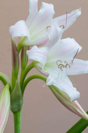 hombre millonario: Flor blanca Floración Aloe millonario Nang Kwak en Tailandia