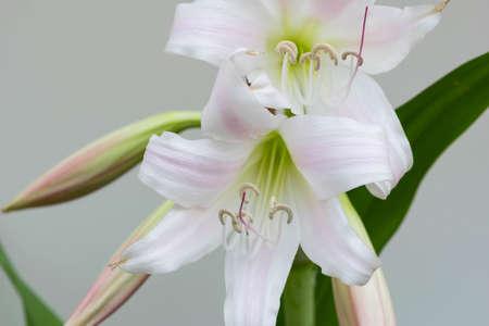 flowering aloe: White flower Flowering Aloe millionaire Nang Kwak in Thailand