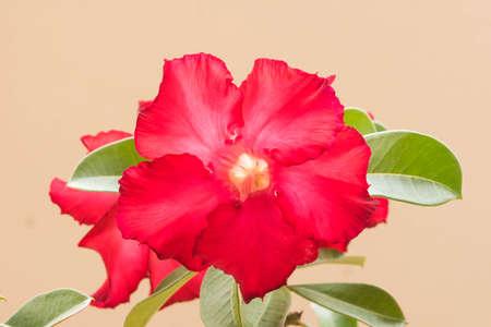 adenium: Desert Rose is a flower. flower Red Adenium. Stock Photo