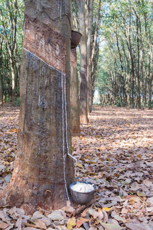 tapping: Rubber Tapping in Thailand Stock Photo