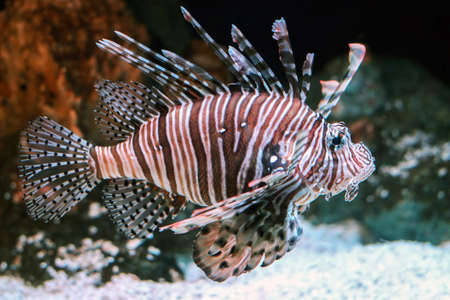 close up of red lionfish underwater