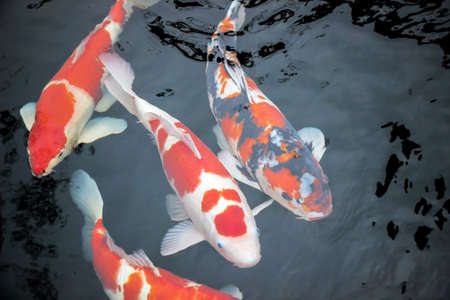 japanese koi fishes in water Standard-Bild