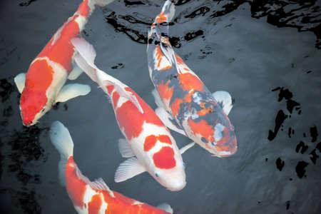 Japanse koi vissen in water