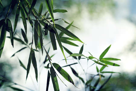 green bamboo leaves in fog Stock Photo