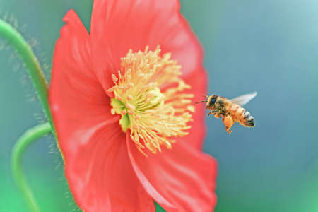 bee gathering honey from red flower