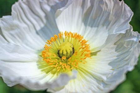 White poppy flower with yellow stamen stock photo picture and stock photo white poppy flower with yellow stamen mightylinksfo