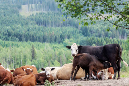 a pack of cows on farm