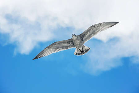 seagull flying in blue sky Stock Photo - 91204052