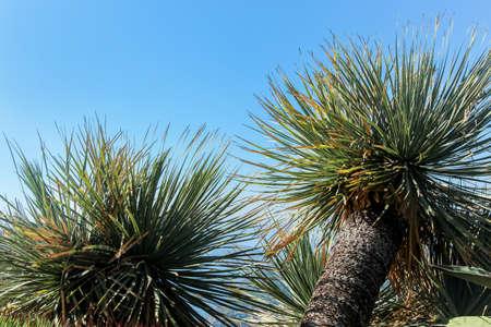 Cycas revoluta trees in blue sky