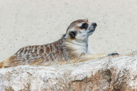 close up of a cute meerkat