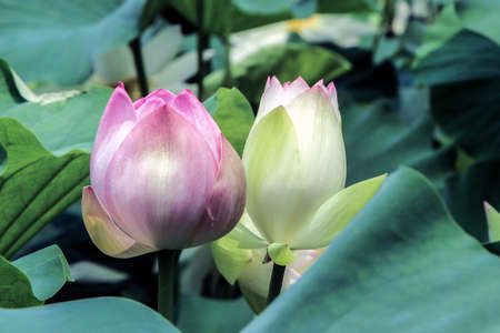 Blooming lotus flower buds with green leaves stock photo picture blooming lotus flower buds with green leaves stock photo 91423019 mightylinksfo