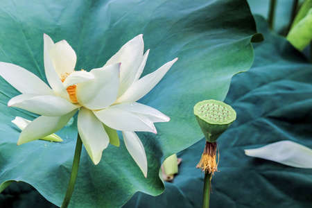 white lotus flower with green leaves Stock Photo