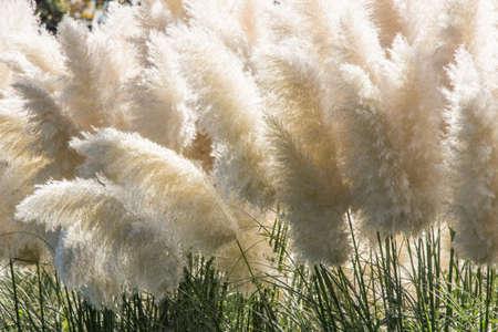 white pampas grass bushes in garden 스톡 콘텐츠