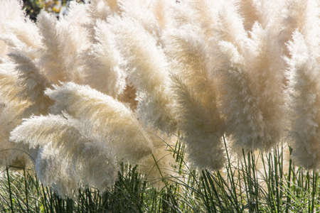 white pampas grass bushes in garden Stock Photo