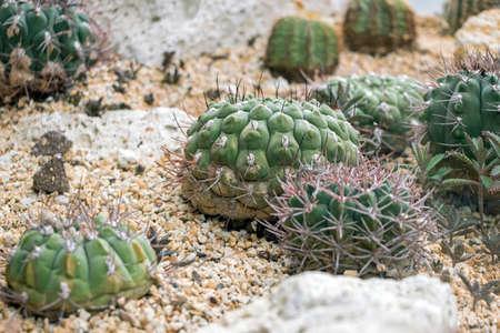 green cactus plants in soil Reklamní fotografie