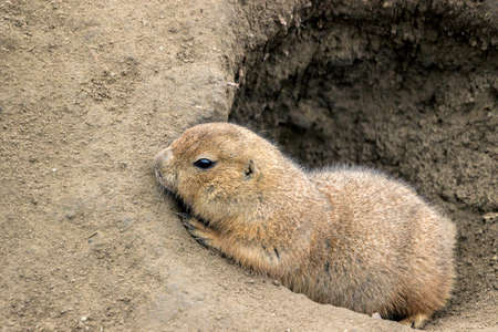 close up of a groundhog in sand hole