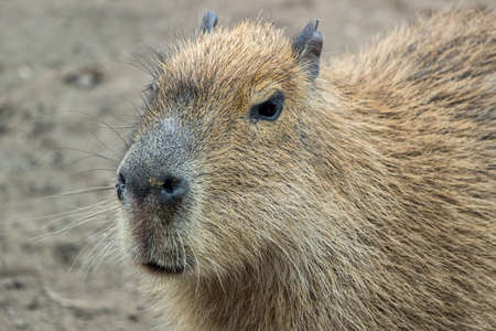 close up of a capybara Reklamní fotografie