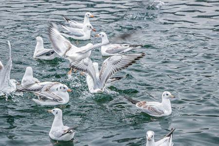 seagulls fight for food in water Reklamní fotografie