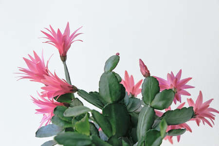 blooming red easter cactus flower