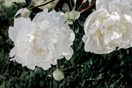 white paeonia flower bush in garden Reklamní fotografie
