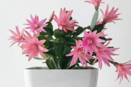 red easter cactus flower in pot Reklamní fotografie
