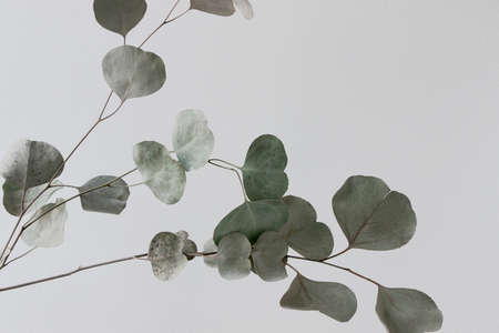 Eucalyptus branch with white background