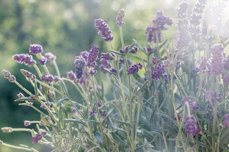 lavender flower bush in sunshine