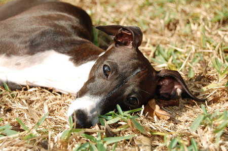 Italian Greyhound laying in grass photo