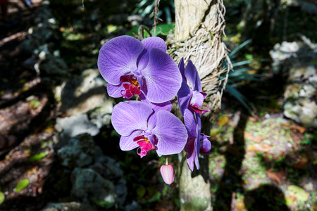 Orchid of the Phalaenopsis genus also known as moth orchid growing in its natural habitat. Vibrant purple and red colors, with veins and dots. In filtered sunlight.