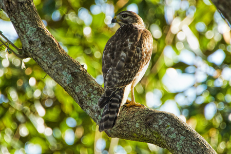 Red-shouldered Hawk Buteo lineatus in a tree in Florida camouflaged by the tree