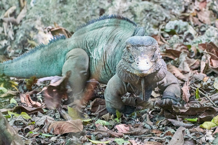 Rare Blue Iguana Grand Cayman Iguana Cyclura lewisi endangered species in its natural habitat