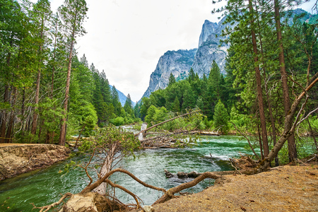 Raging River with Uprooted Trees and Mountains in Background in Yosemite