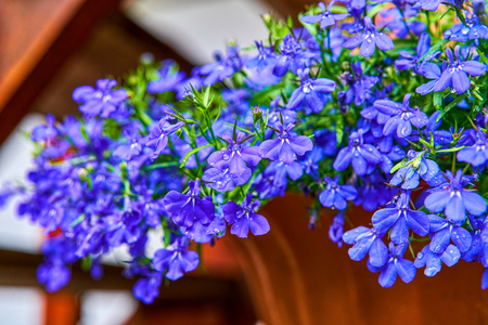 Blue violet Lobelia erinus Sapphire flowers or Edging Lobelia, Garden Lobelia a popular edging plant in gardens for hanging baskets and window boxes.