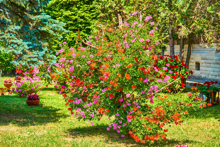 An incredible cluster of geraniums red purple orange in hanging baskets shaped as a tree 版權商用圖片